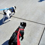 Show Your Dog You Love Him by taking him on a walk! It's simple and easy! Plus it's good for both of you!