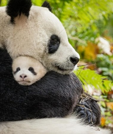 Check out our Born in China movie review to learn if the new Disneynature movie is family friendly!