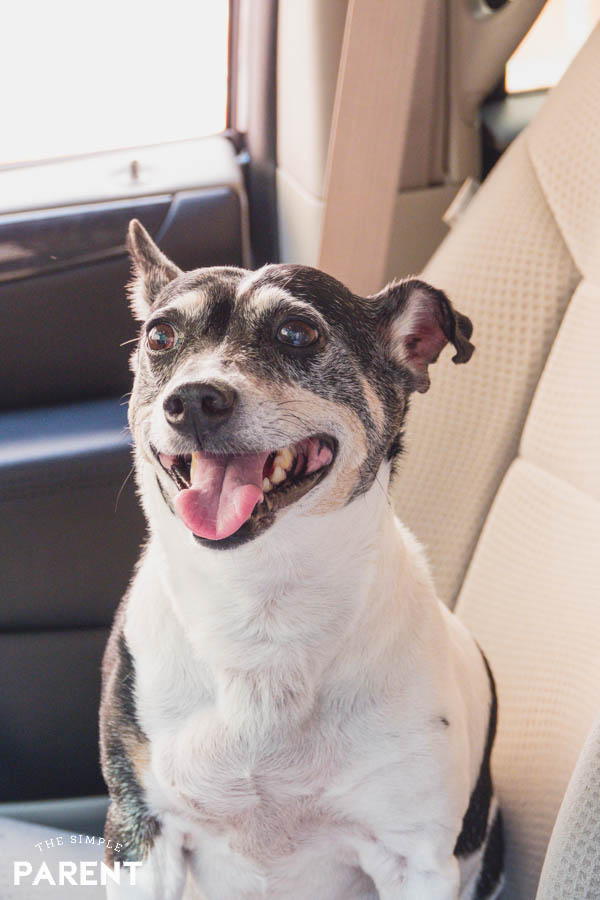 Dog sitting in car and must-have car accessories for dogs