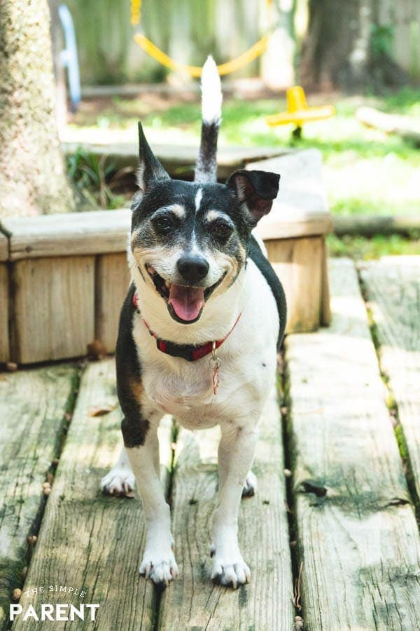 Happy rat terrier dog