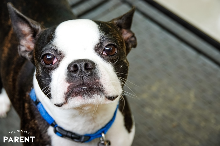 Young boston terrier dog