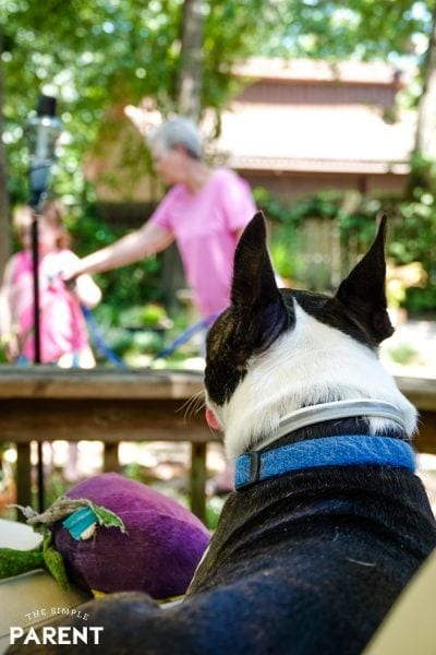 Boston Terrier watching family