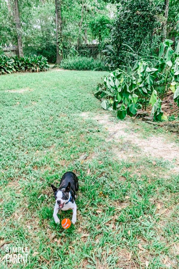 Boston Terrier playing fetch in the backyard