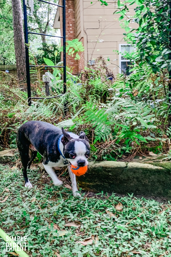 Boston Terrier fetching a ball in his mouth