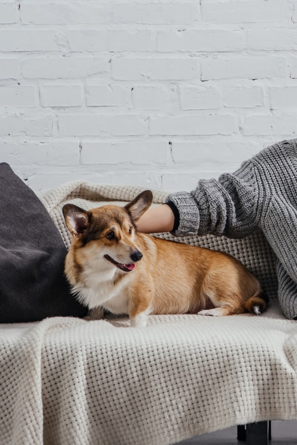 Corgi dog sitting on a blanket on a couch while a woman pets the dog