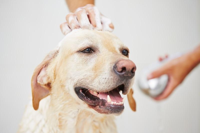 Labrador retriever dog getting a bath