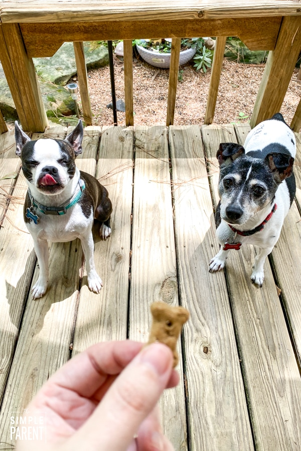 Dogs waiting to eat dog treat being held by owner