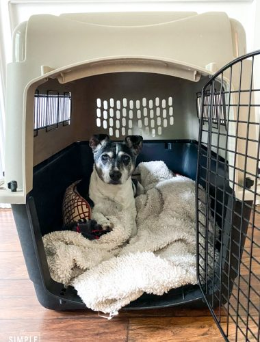 Rat terrier laying in a dog kennel