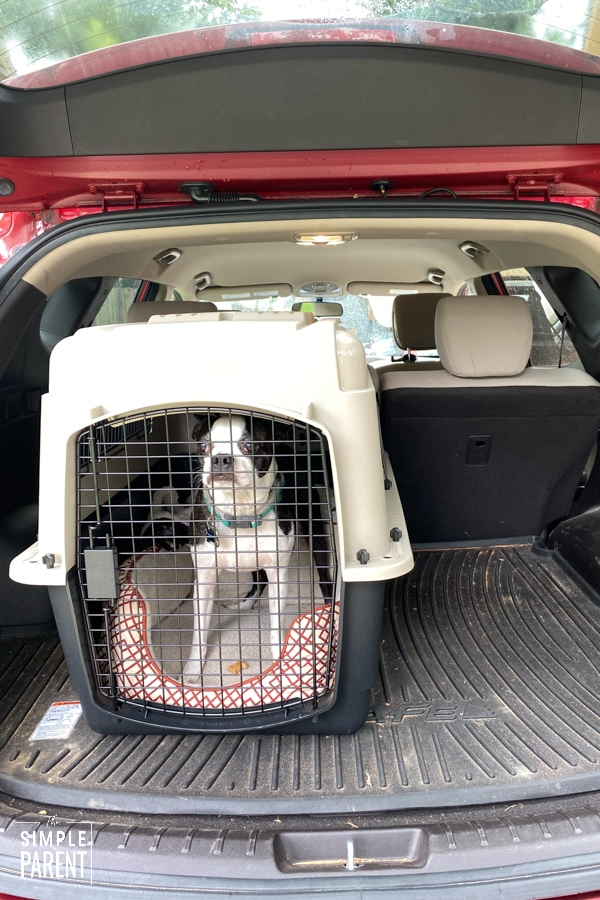 Boston terrier in a dog kennel in the back of a red car