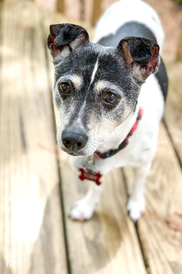 Rat terrier standing on wood deck