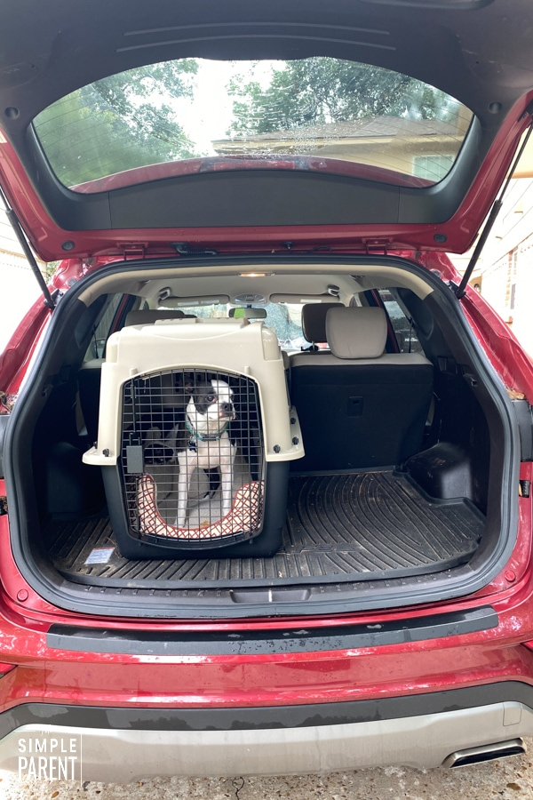 Boston Terrier in a dog kennel in the back of a car