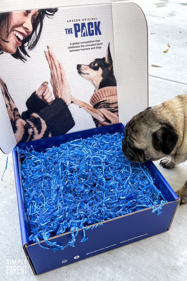 Pug looking at box with crinkly paper in it