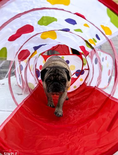Pug walking through dog toy tunnel